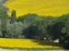 girasoli-e-grano-giugno-2012-10