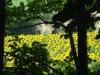 girasoli-e-grano-giugno-2012-2