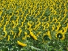 girasoli-e-grano-giugno-2012-3