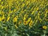 girasoli-e-grano-giugno-2012-4