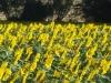 girasoli-e-grano-giugno-2012-6